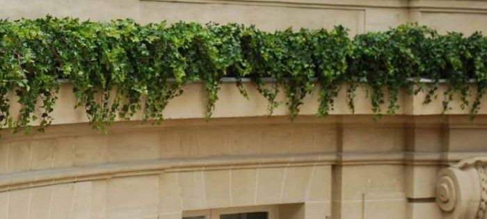 Showing our artificial Ivy in situ