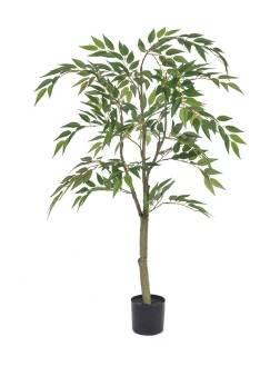 Ficus Benjamin Tree