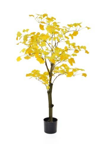 Gingko Golden Tree
