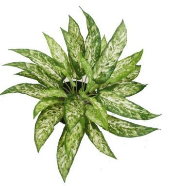 Aglaonema Bush FR