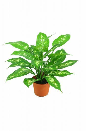 Dieffenbachia Plant (comes in Pot) FR