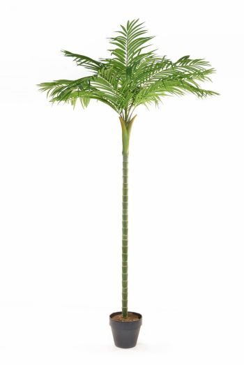 Areca Single Stem Palm Tree