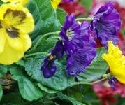 Close up of Yellow and Blue Pansies