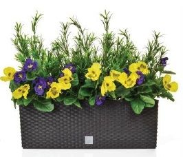 Pansy and Podocarpus in Rato Trough