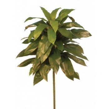 Dracaena Plant FR