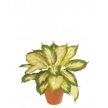 Dieffenbachia Plant FR