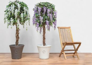 Wisteria Tree In Planter