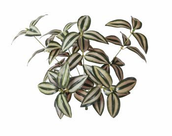 Green Wall System - Tradescantia UV