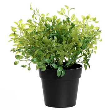 Potted Oregano