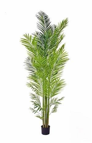 Areca Palm FR