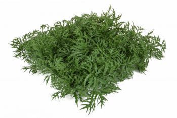 Topiary Aralia Mat UV