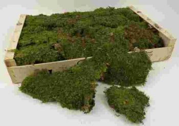 Flat Dried Preserved Moss Box 1kg