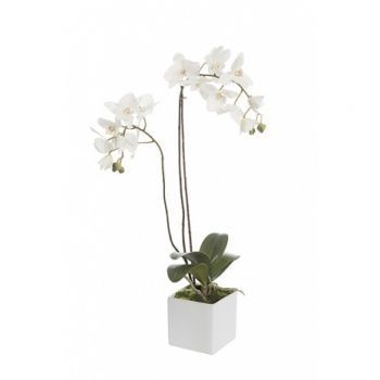 Phalaenopsis in a Cube with Moss