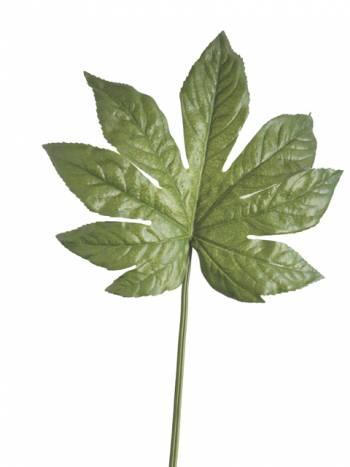 Fatsia Japonica Leaf x6 Saver Pack
