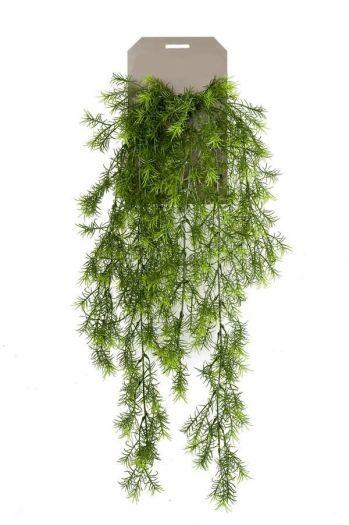 Asparagus Sprengeri Bush