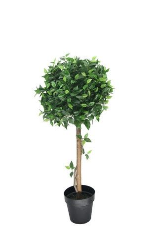 Ficus Potted Ball Tree