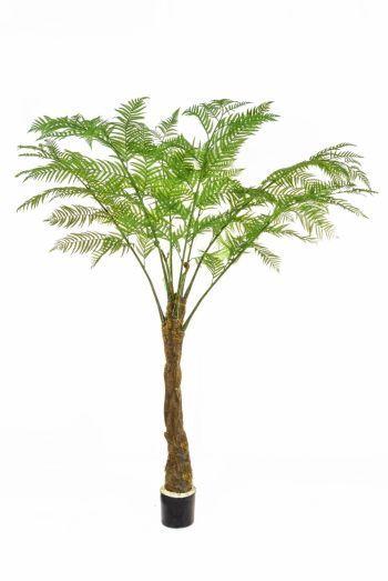 Alsophila Palm