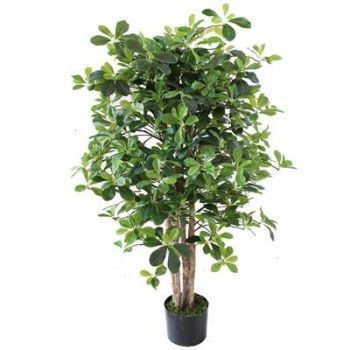 Schefflera Tree