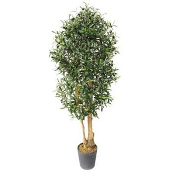 Olive Tree IFR
