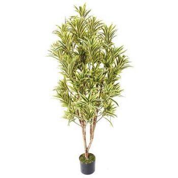 Dracaena Reflexa Tree