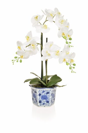 Phalaenopsis in a Blue/White China Pot