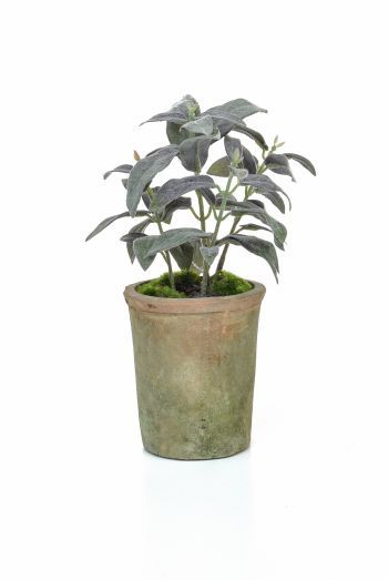 Potted Herb - Sage