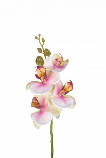 Phalaenopsis, Small