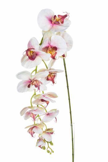 Phalaenopsis, Large