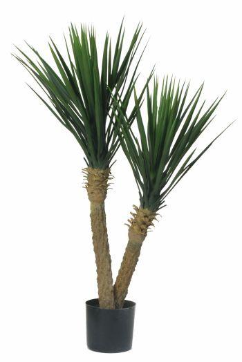 Yucca Rostrata Double Head Plants