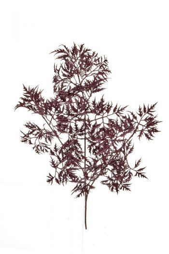 Ming Aralia Spray FR