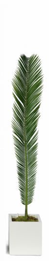 Cycas Palm Leaves FR