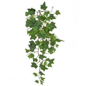 Trailing English Ivy FR