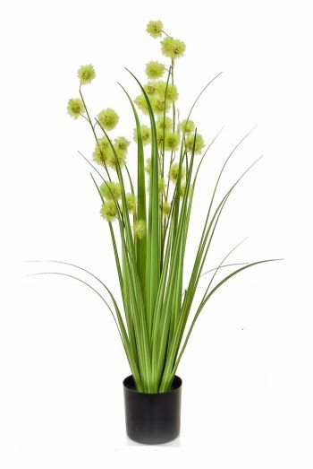 Pompom Grass