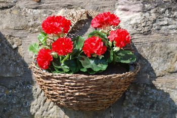 Wall Geranium Basket
