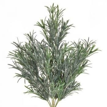 Podocarpus Bush UV