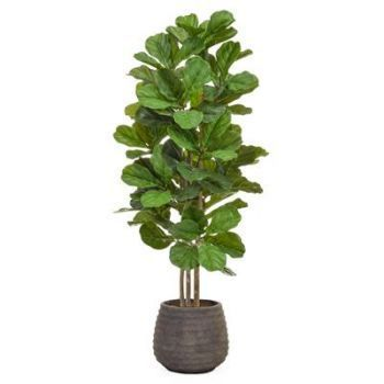 Fiddle Tree in Taupe Pot