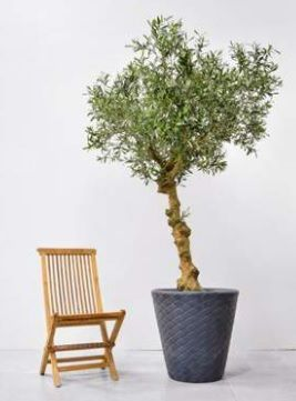 Luxury Bespoke Olive Tree Deluxe on Coffee Stem in Pot