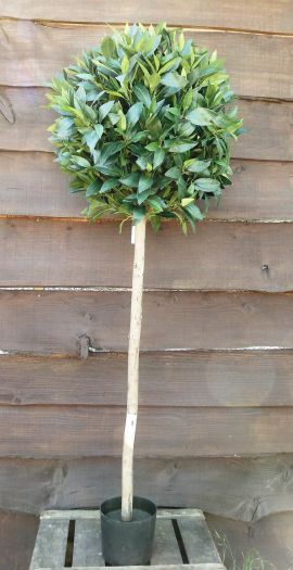 Bay Topiary Tree In Pot