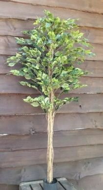 Ficus Tree FR
