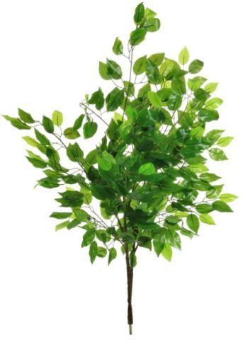 Ficus Branch