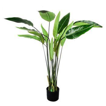 Strelitzia Plant, Potted