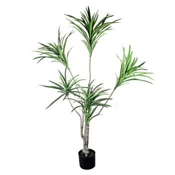 Dracaena Plant, Potted