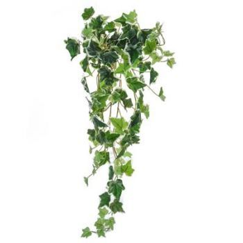 English Ivy Bush