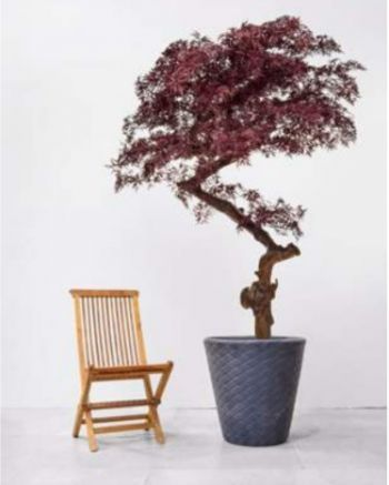 Luxury Bespoke Ming Aralia Tree Deluxe on Coffee Stem in Pot
