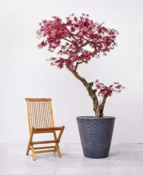 Luxury Bespoke Japanese Maple Tree Deluxe on Coffee Stem in Pot