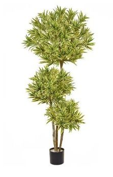 Dracaena Reflexa Multi Layer Tree