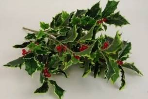 Holly Bush