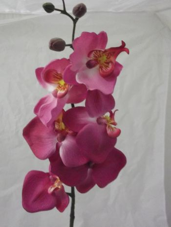 Phalaenopsis Moth Orchid Spray