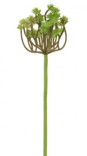 Clavatum Succulent