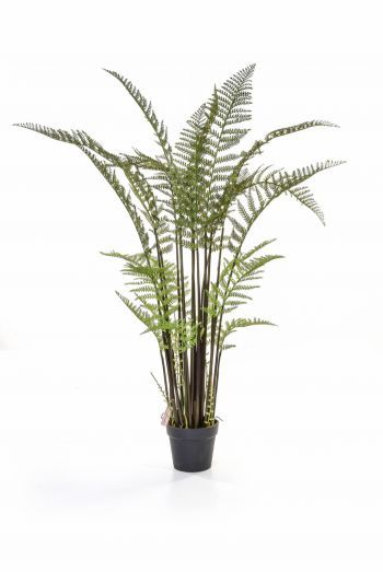 Tall Fern in Pot